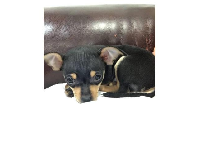 Tiny adorable Chihuahua puppies, 8 weeks old and ready to ...