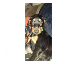 2 Purebred Doberman Pinscher puppies available for Adoption