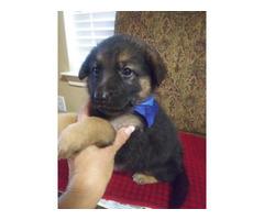 6 weeks of old adorable German Shepherd Puppies for sale