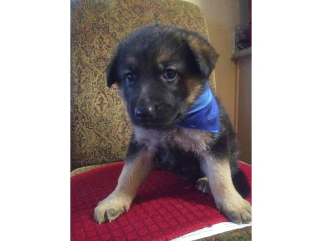 6 weeks of old adorable German Shepherd Puppies for sale ...