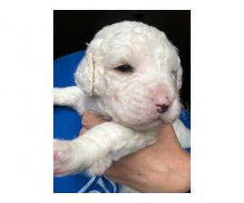 7 English Bulldog / Poodle puppies available