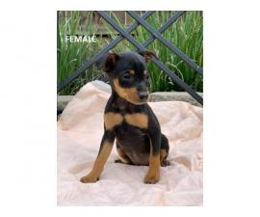 1 Female 1 male miniature pinscher for sale