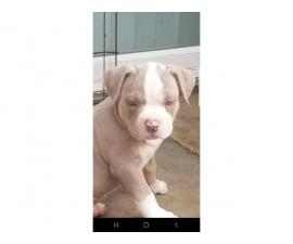 ABKC Puppies American Bully Pockets