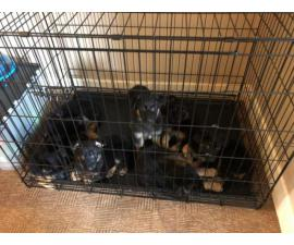 German Shepherd Puppies Ready To Go Now