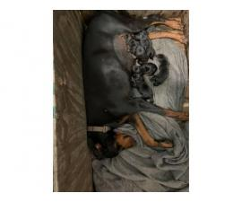 6 lovely black and tan AKC reg Doberman Pinscher puppies
