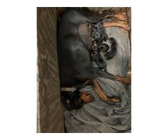 6 lovely black and tan AKC regDoberman Pinscher puppies