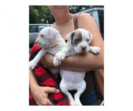 American bully puppies  one girl, one boy