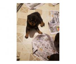 2 males 1 female  very cute AKC German rottweiler puppies