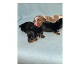 3 beautiful Dachshund puppies for sale