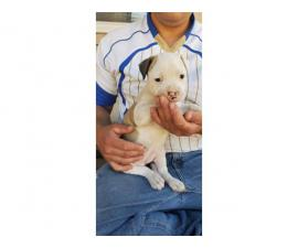 Four American Bulldog puppies available