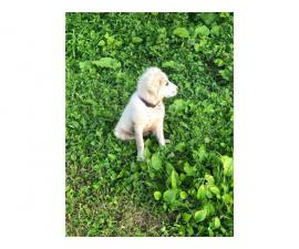 One female Great Pyrenees puppy for sale
