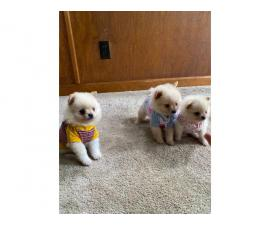 2 boys and 1 girl teacup pomeranian puppies