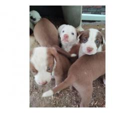 Brown and white labrabull puppies