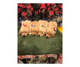 Purebred golden retriever puppies