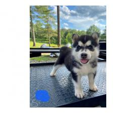 5 Husky puppies for sale