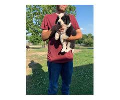 Aussiedor puppies 5boys left