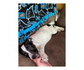 Australian Cattle Dog / Jack Russell Terrier Puppy