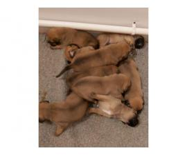 Gorgeous Boys and Girls Boxer puppies For Sale....