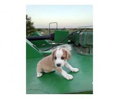 lemon and tri color  beagle puppies