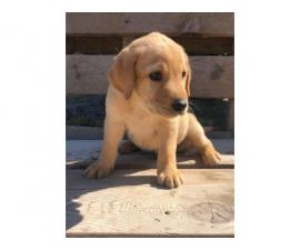 6 weeks old Akc registered purebred yellow labrador puppies for sale
