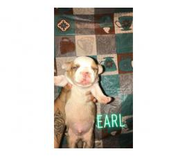 3 males pit bull pups for rehoming