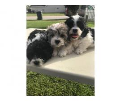 ShihTzu / Bichon Frise puppies available