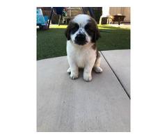 2 Months old St. Bernard puppies