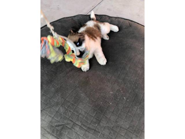 2 Months Old St Bernard Puppies In San Diego California Puppies For Sale Near Me