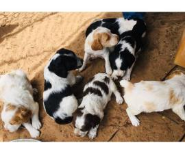 Litter of Brittany Puppies