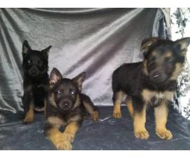 2 female 1 male German shepherd puppies