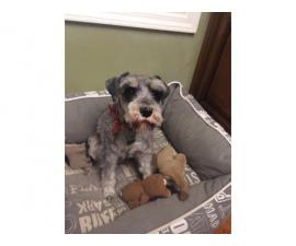 One male Miniature schnauzer dog for sale