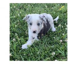 6 weeks old ABCA border collie puppies for sale
