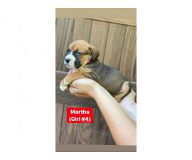 Gorgeous litter of Boxnese puppies available fo rehoming