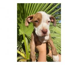 American pit bull puppies 2 males and 5 females