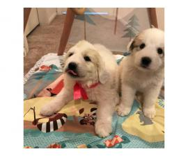 7 weeks purebred Great Pyrenees puppies for sale