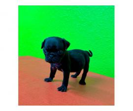 Fawn and Black 8 weeks old pug puppies for sale