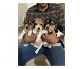 Last six beagle puppies are looking for a new family