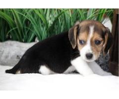 Beagle Male Carver