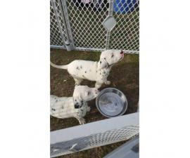 8 weeks old dalmatian puppies with AKC papers