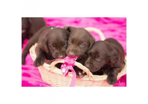 AKC Chocolate lab puppies for sale - 4 males left