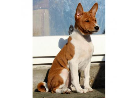 Basenji for sale by owner - Puppies for Sale Near Me
