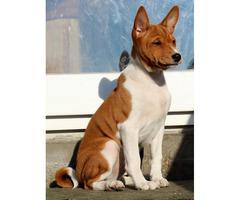 Puppy Basenji FCI