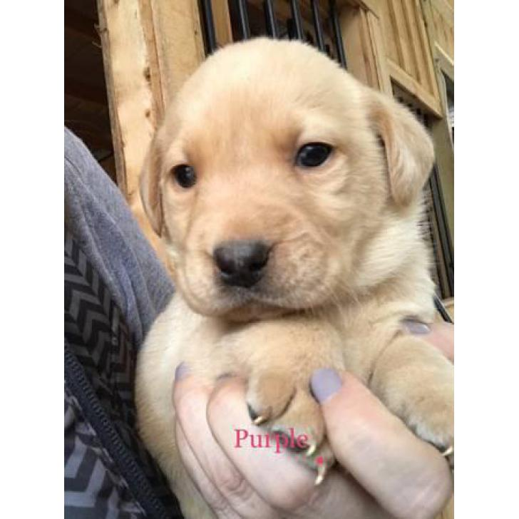 AKC yellow lab puppies For Sale In Massachusetts USA