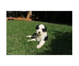 AKC Tibetan terrier puppy ready for her new home