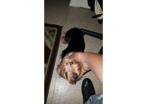 8 month old Male Yorkshire Terrier Puppy for Sale