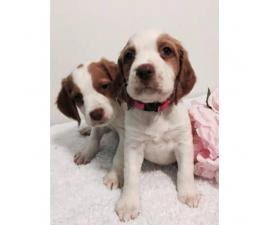 Brittany spaniels for sale - 4 puppies left