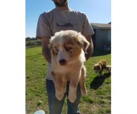 8 week old Australian Shepherd Puppies for sale