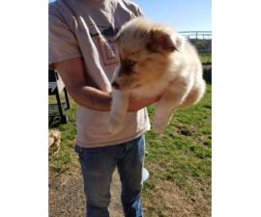 8 week old Australian Shepherd Puppies for sale