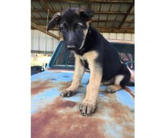 4 Female AKC registered German Shepherd puppies left