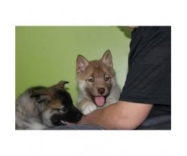 Norwegian Elkhound puppies for Sale